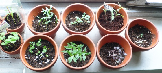 top view of more herbs sprouting.
